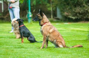 German Shepherd Obedience Training
