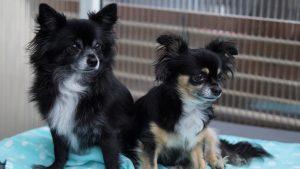 Pomeranian Dog Club