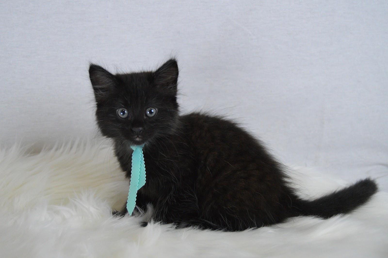 Black cat wearing a tie