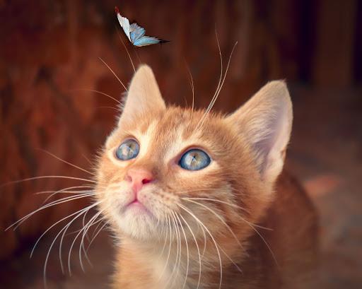 Gorgeous orange baby cat