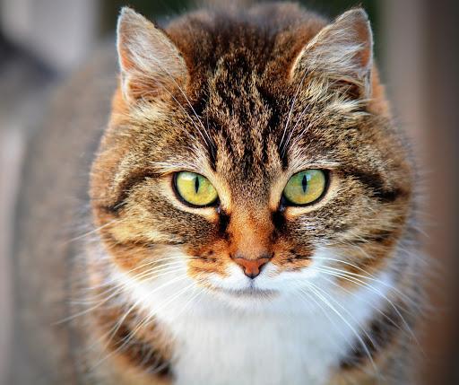 Orange cat looking in the camera